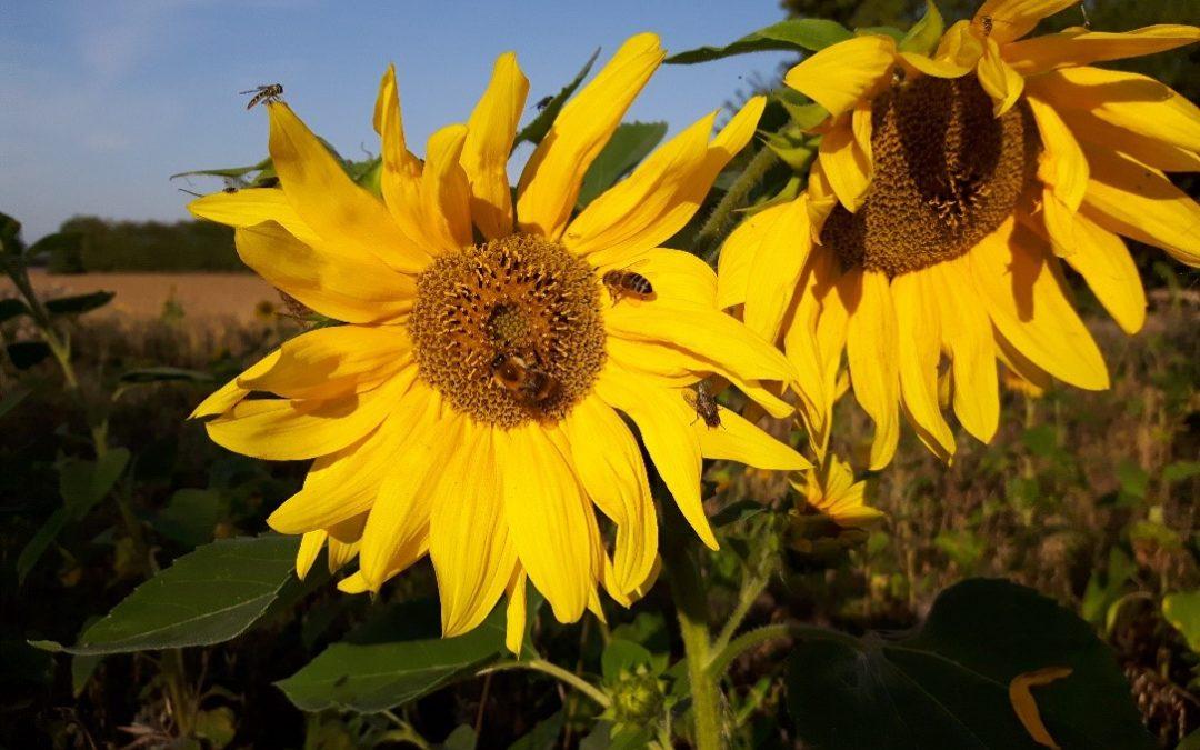 Blühflächen und Bienenweiden